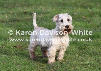 IMG_0873The Sealyham Terrier