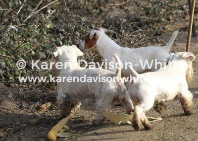 IMG_0904sealyhams and Ilmer terrier karendavisonwhite