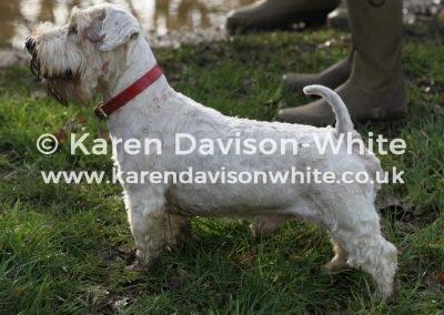 IMG_0973Sealyham Terrier karendavisonwhite