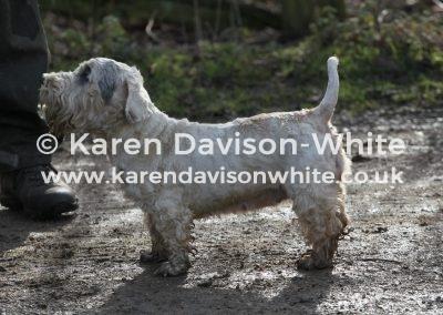 IMG_0978The Sealyham Terrier karendavisonwhite