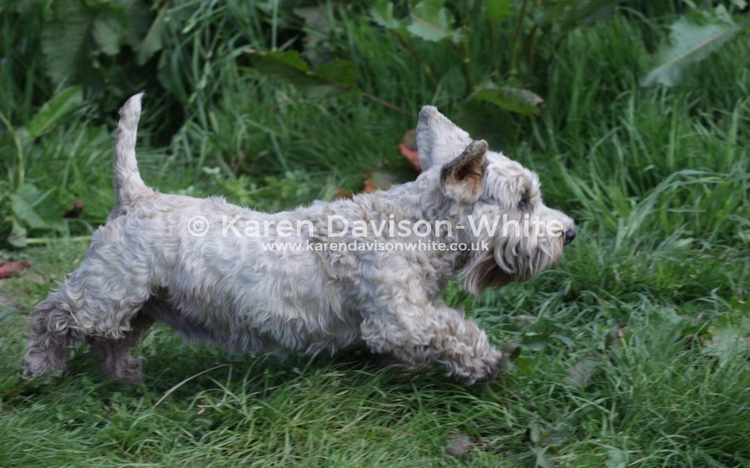 Working Sealyhams and Ilmer Terriers