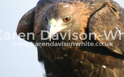 """Happy New Year! The Golden Eagle – """"Rule the World"""" they rule the skies!"""