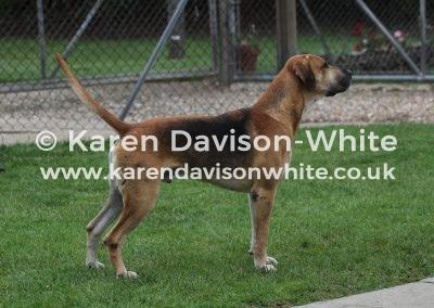 IMG_6517Stallion hound Dumfriesshire Buchanan Jardne line