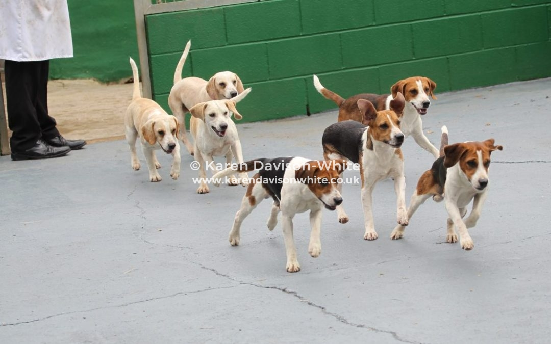 Stour Valley Beagles Puppy Show 27th July, 2019