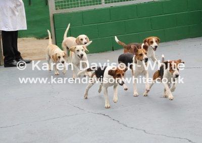 IMG_8557SVB young entry dog hounds. (2)