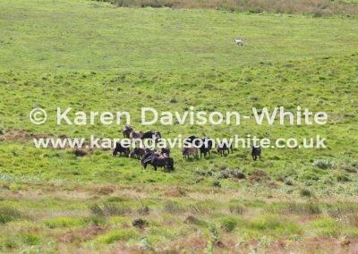 IMG_8998Exmoor ponies